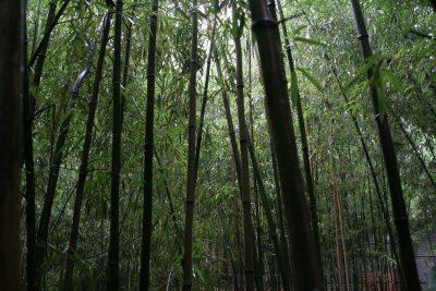 Бамбуковая роща в Монастыре Красных Улиток