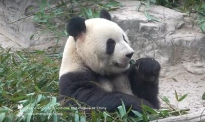 панда, зоопарк, Пекин, 2018